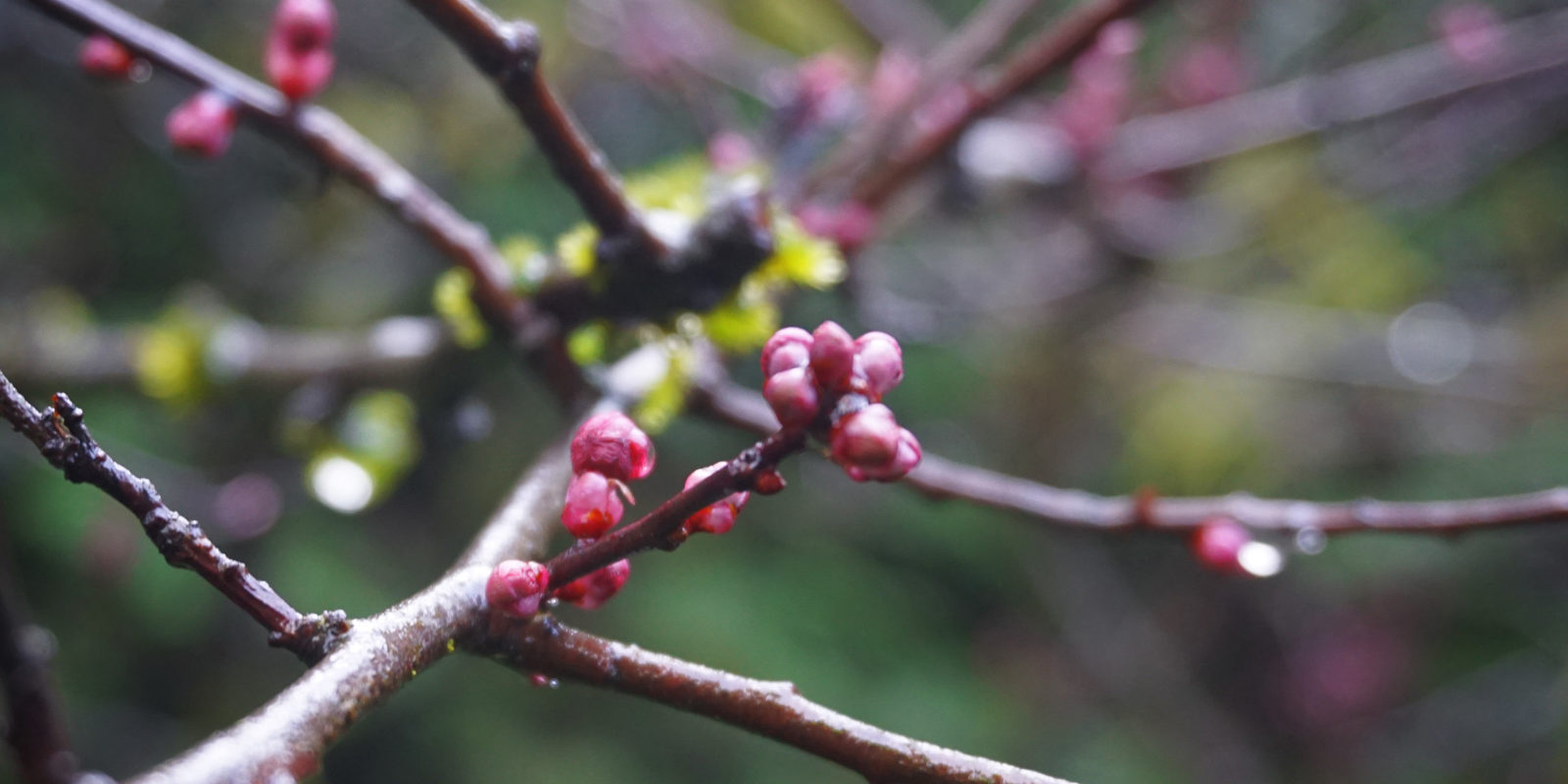 Feb 2016 Garden Photos Plants -12-02-2016 - Cherry Blossom Buds
