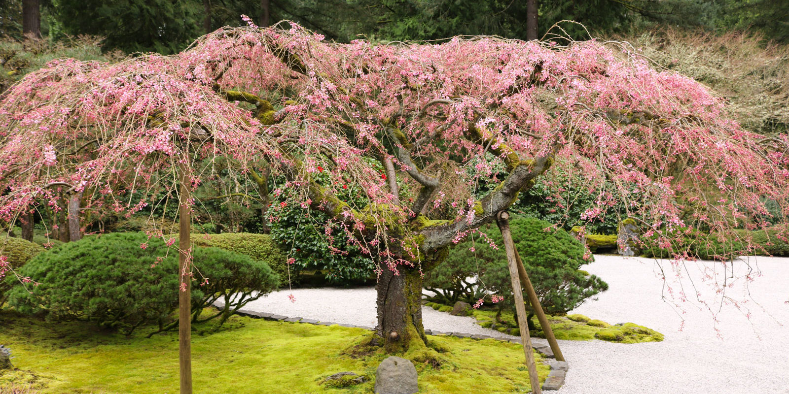 Cherry Blossoms In The Garden Portland Japanese Garden