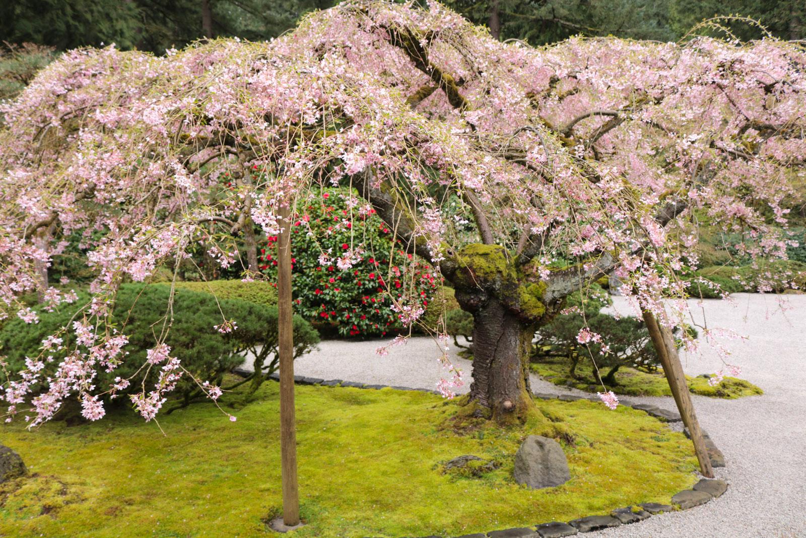 Cherry Blossoms in the Garden – Portland Japanese Garden