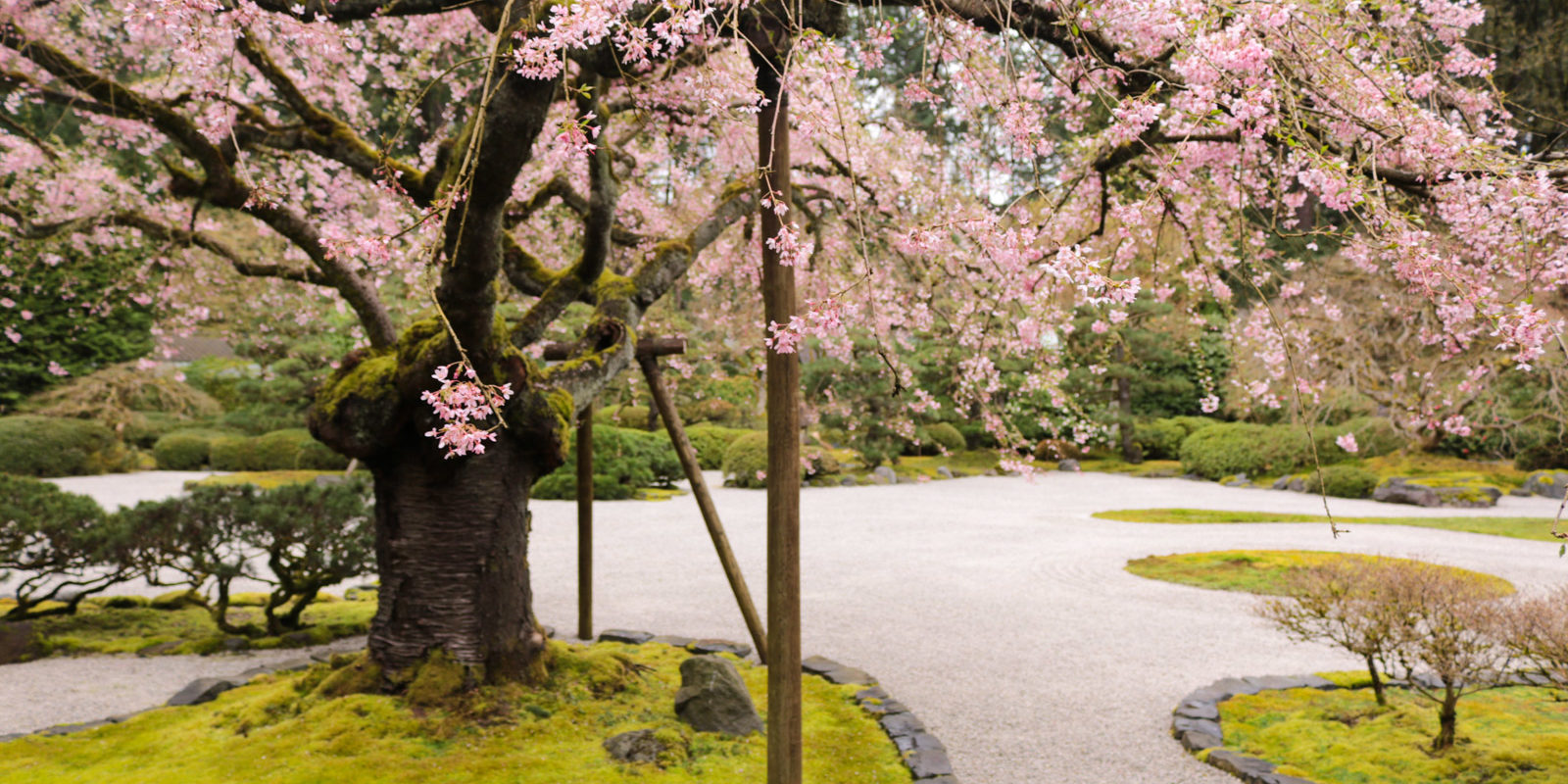 Cherry blossoms in the garden portland japanese garden for Cherry blossom garden japan