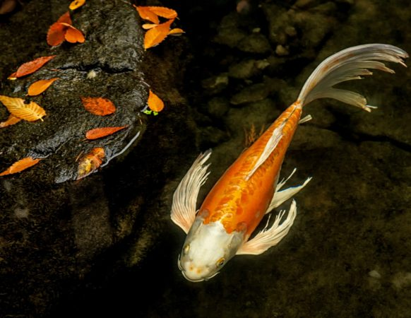 News photos portland japanese garden for Portland japanese garden koi