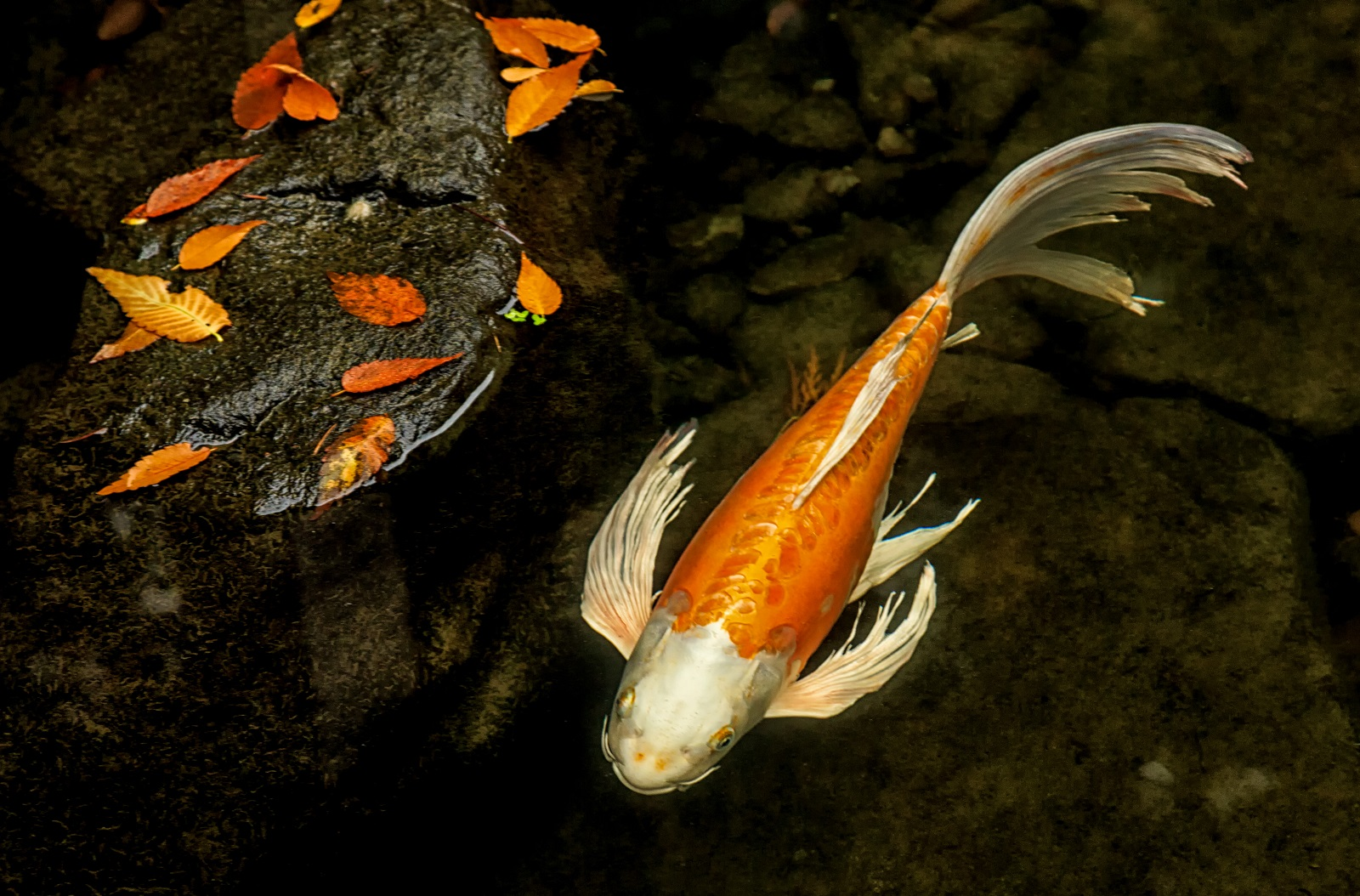 king of the river koi at the portland japanese garden u2013 portland
