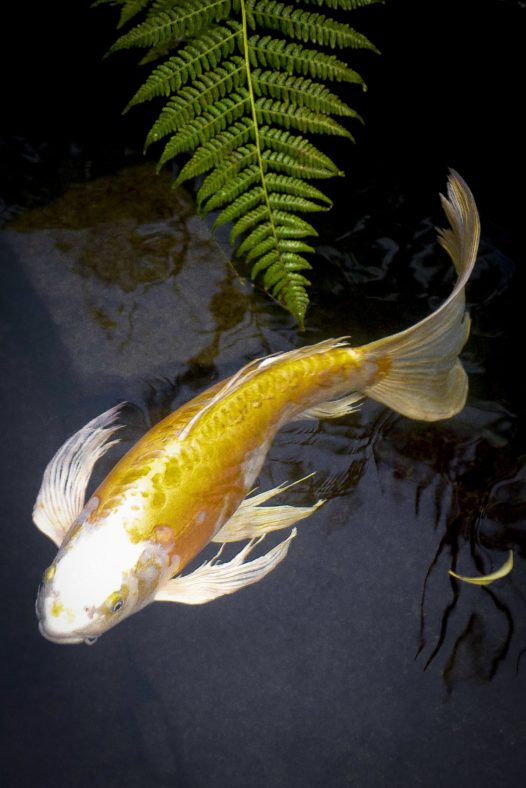 King Of The River Koi At Portland Japanese Garden