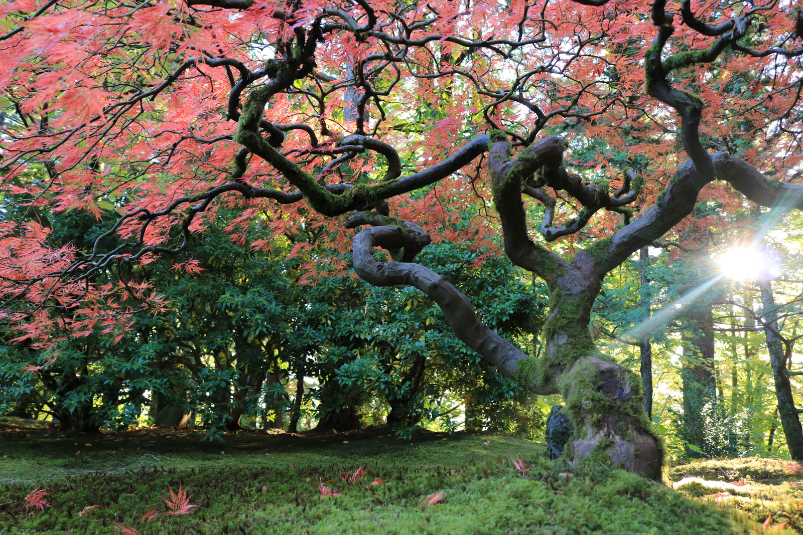 Fall Colors Archives – Portland Japanese Garden