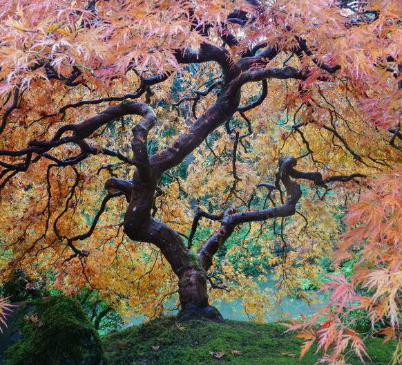 Fall Colors Archives Portland Japanese Garden