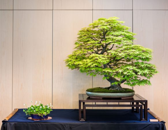 A leafy bonsai and a small accent sit next to each other on a blue table