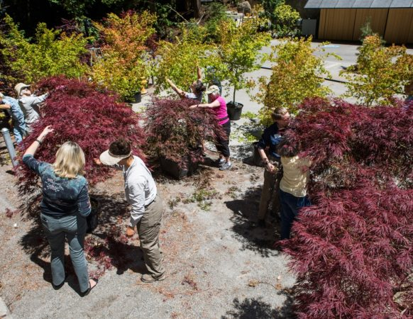 Students and teachers work on a variety of maple trees