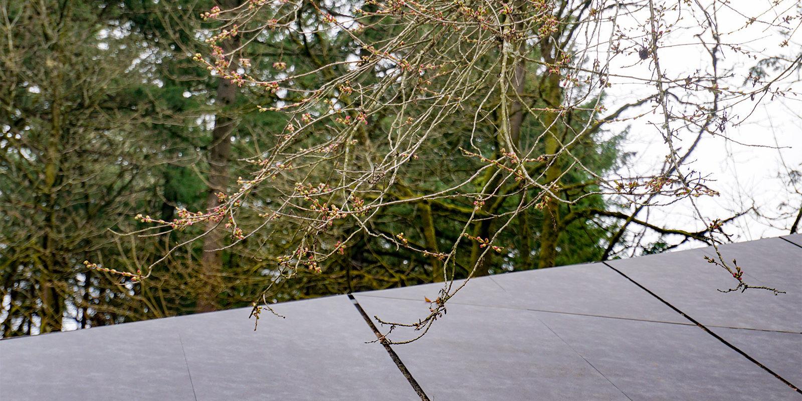 Portland Japanese Garden -Cherry Blossom Spring Watch - 3.21 - DSC02393